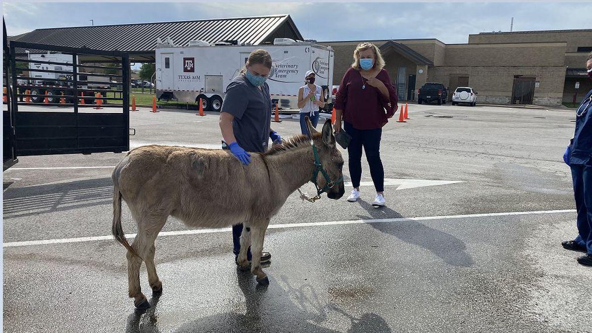 Reunited: A donkey named Jordan that was severely injured in last month's tornado in Polk...