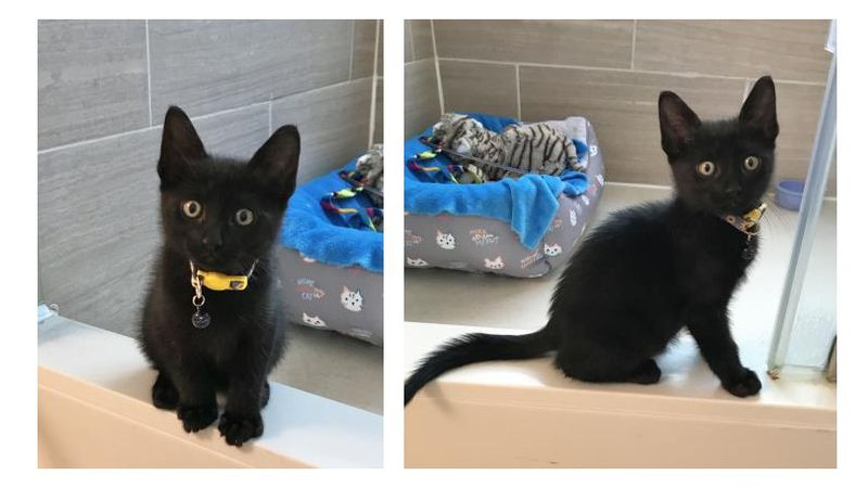 Meow Meow is our Aggieland Humane Society Pet of the Week for May 14, 2021. (AHS photos)
