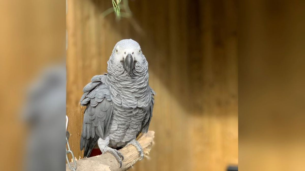 Five parrots - Billy, Eric, Tyson, Jade and Elsie - joined Lincolnshire Wildlife Centre's...