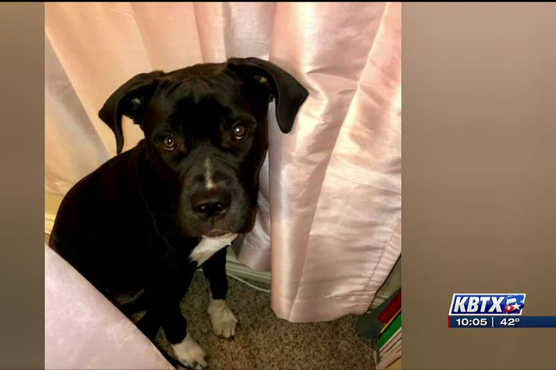 A&M student searching for missing pup after car wreck