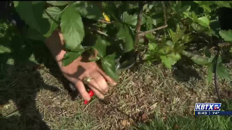 Some plants require quite a bit of pruning after they've yielded all their fruit!