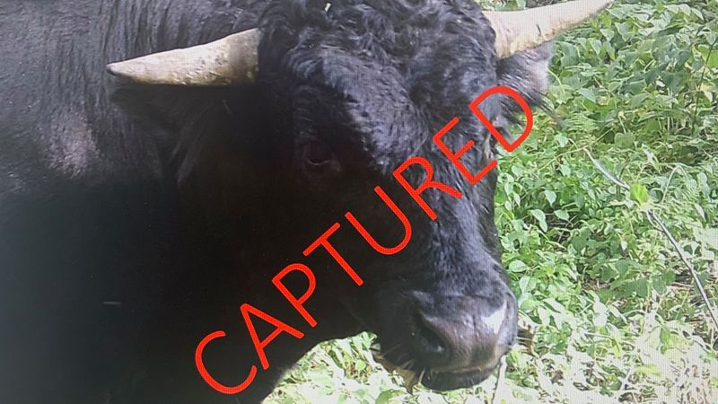 The beefalo — a cross between a bison and domestic cattle — eluded its handlers on Aug. 3,...