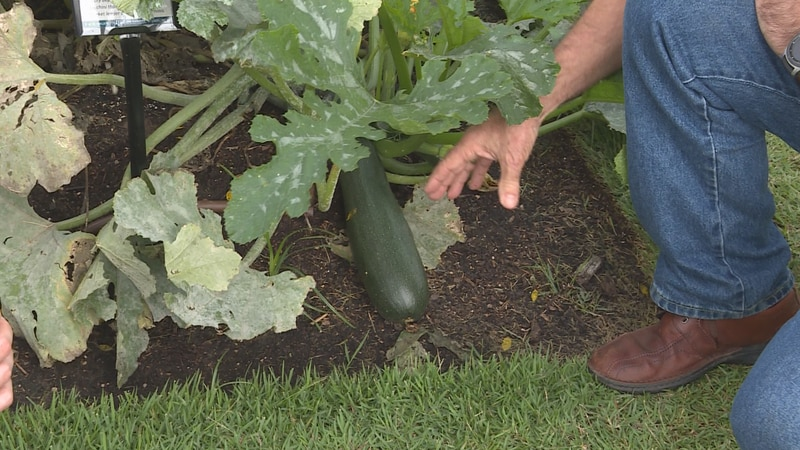 Zucchini can get too big if you don't pick them fast enough!