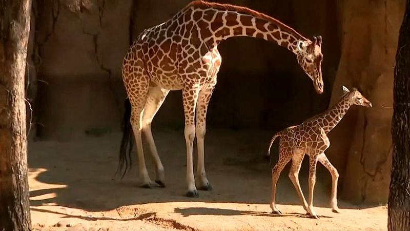 A baby giraffe at the Dallas zoo made its debut to the public July 8