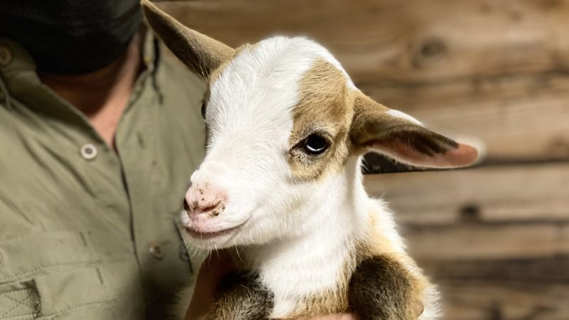 Oil Ranch goat
