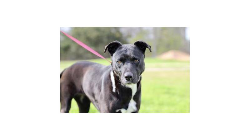 Mifflin is our Aggieland Humane Society Pet of the Week for February 5, 2021. She's a...
