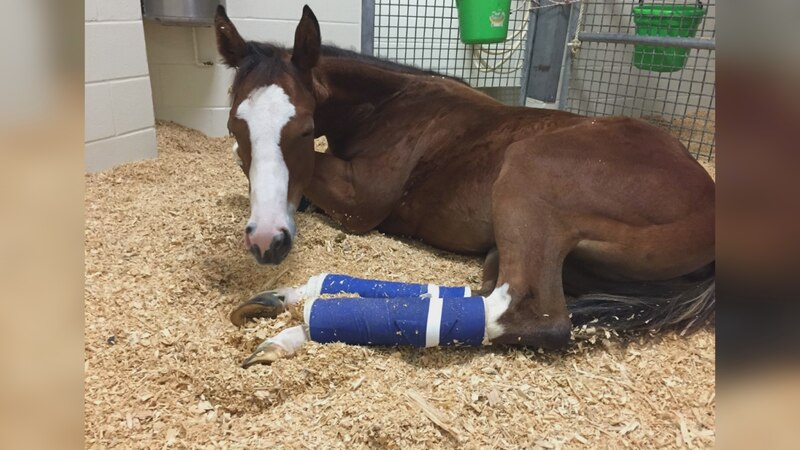A young horse named Dazzle was first treated by Ashlee Watts in August of 2015. Instead of...