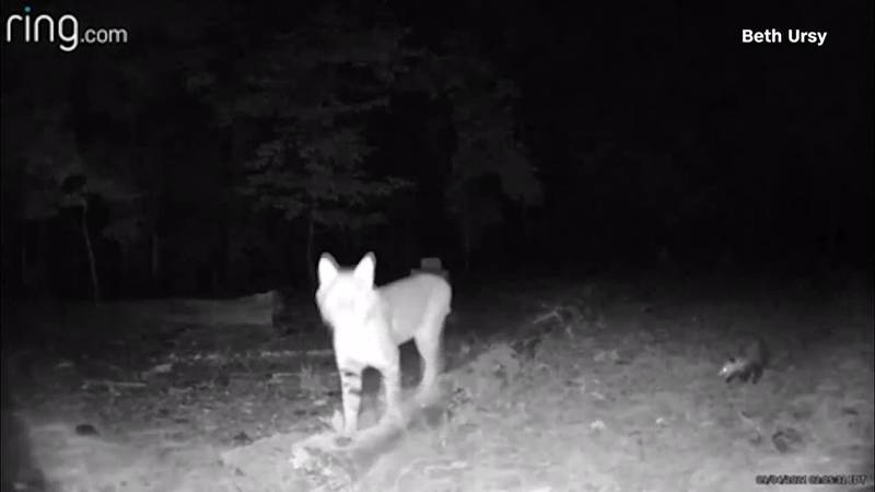 A bobcat in Georgia attacked a Ring doorbell.