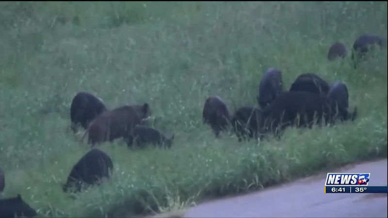 Wild hogs are a big problem in the state of Texas